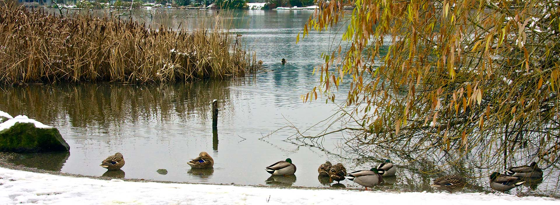 Ducks on Echo Lake with snow