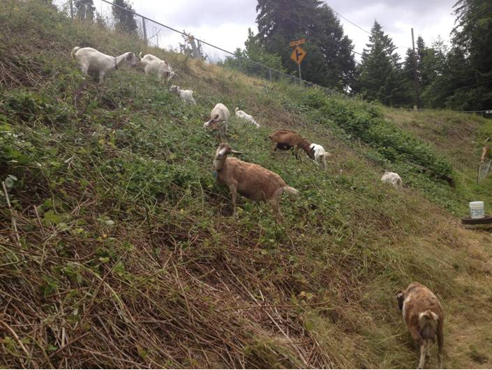 Goats eating vegetation on a hillside.